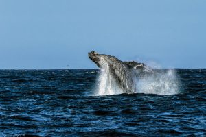 Grey Whale jumping out of the water in Cabo